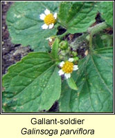 Gallant-soldier, Galinsoga parviflora