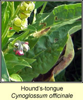 Hounds-tongue, Cynoglossum officinale