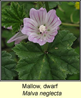 Mallow, Dwarf, Malva neglecta