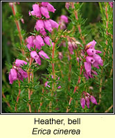 Heather, bell, Erica cinerea