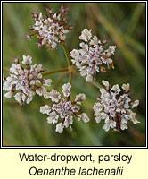 Water-dropwort, parsley, Oenanthe lachenalii