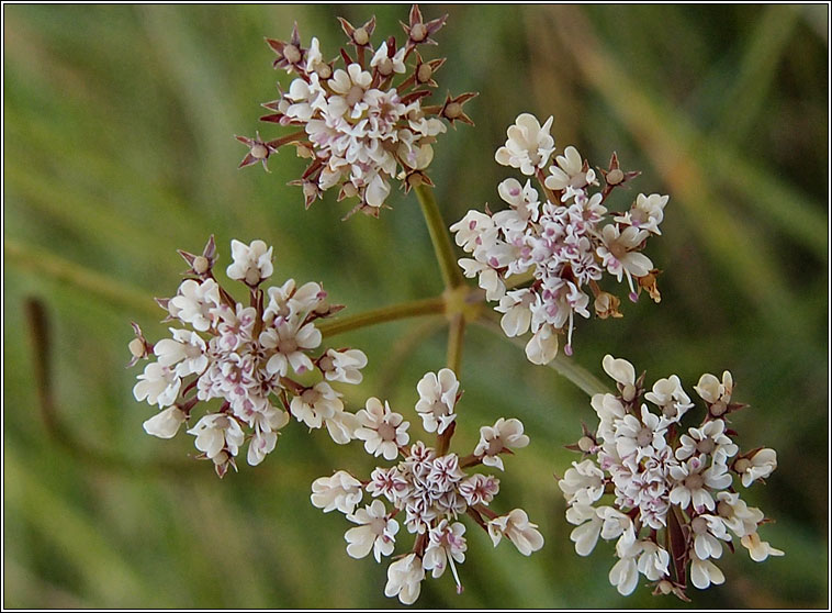 Parsley Water-dropwort, Oenanthe lachenalii