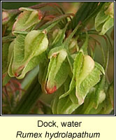 Dock, water, Rumex hydrolapathum