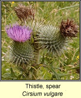 Thistle, spear, Cirsium vulgare