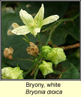 Bryony, white, Bryonia dioica