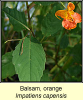Balsam, orange, Impatiens capensis