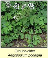 Ground-elder, Aegopodium podagria