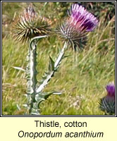 Thistle, cotton, Onopordum acanthium