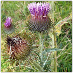 Cotton Thistle, Onopordum acanthium