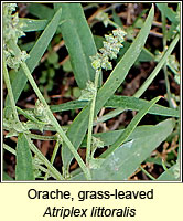 Orache, grass-leaved, Atriplex littoralis