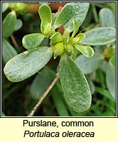 Purslane, common, Portulaca oleracea