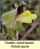 Fluellen, round-leaved, Kickxia spuria
