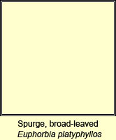 Spurge, broad-leaved, Euphorbia platyphyllos
