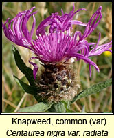 Knapweed, common (var), Centaurea nigra var radiata